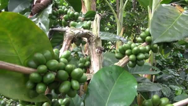 Coffee Plants, Plantations, Farms, Nature