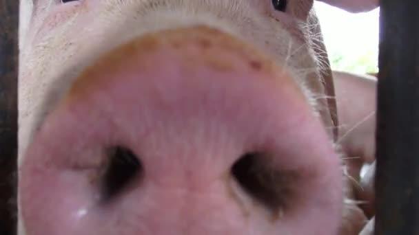 Baby prasata, selata, prasata, hospodářská zvířata