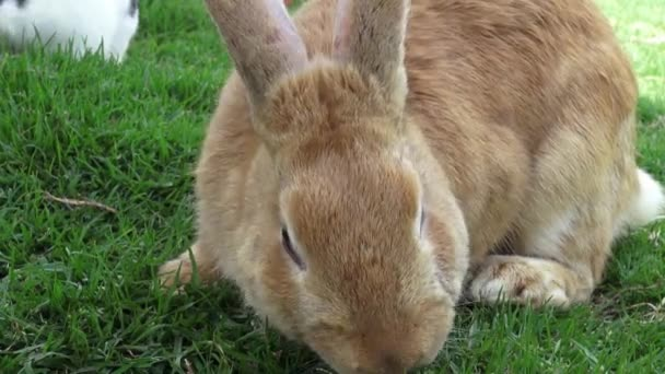 Conigli, coniglio, lepre