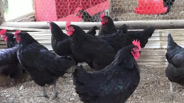 slepice, kuřata, ptáci, zvířata