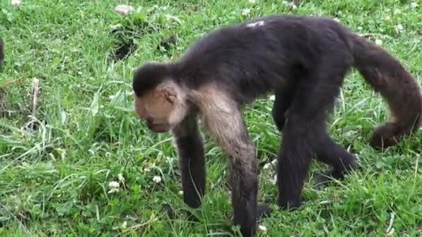 Kapucínský opice, primáti, Zoo zvířata, přírodu, příroda