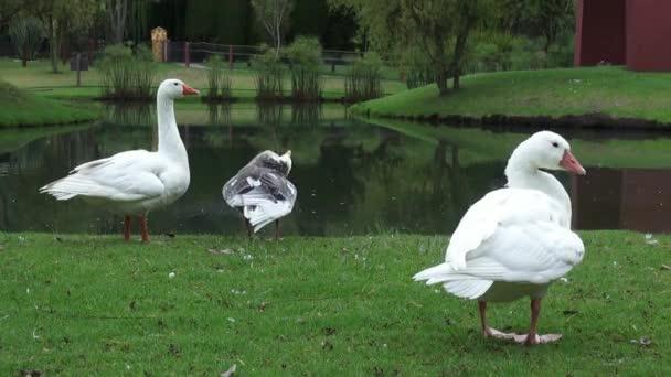 Hejno hus, ptáci, zvířata, příroda, příroda