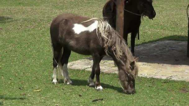 Pony, miniaturní koně, koně, hospodářská zvířata