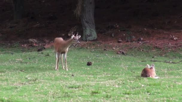 Jeleni, losi, Moose, savci, zvířata chovaná v Zoo, Wildlife