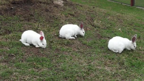 White Rabbits, Bunny, Hare, Easter, Nature