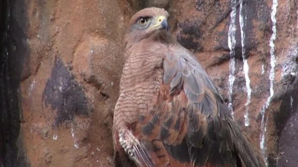 Sasok, Hawks, madarak, ragadozó, állatok, a vadon élő állatok, természet