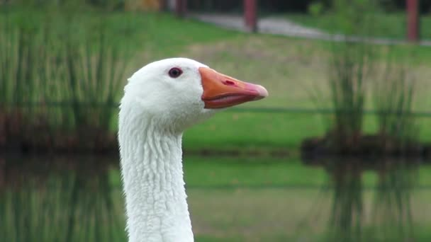 Goose, Geese, Birds, Animals, Nature, Wildlife