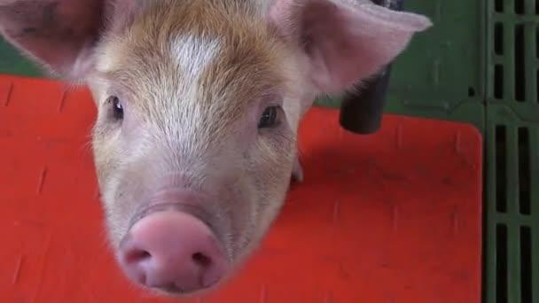 Sertések, malacok, disznók, Farm állatok
