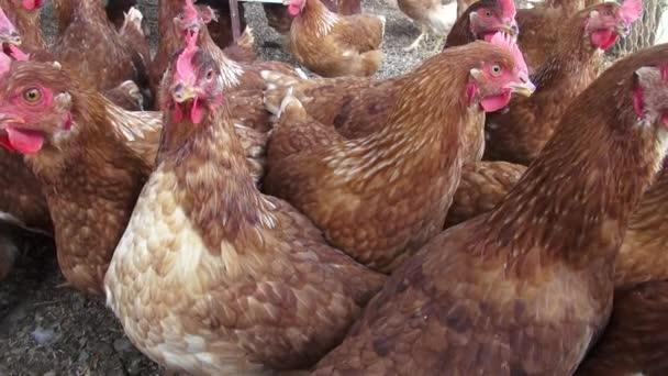 Hnědé slepice, kuřata, ptáci, zvířata
