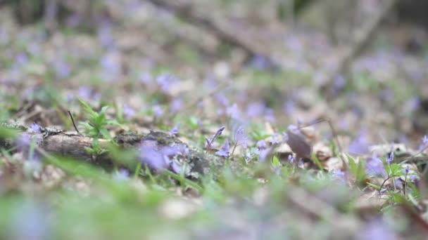 Kvetoucí jarní květiny v přírodě