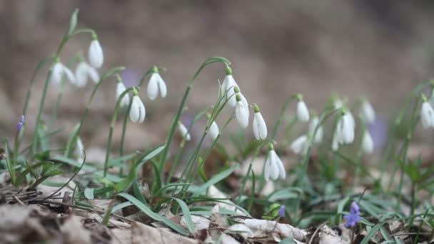 Virágzó tavaszi virágok a természetben