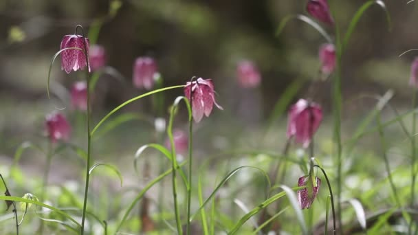 View of blooming flowers of fritillaria meleagris
