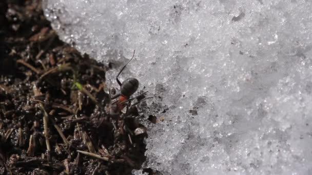 Mravenci na jaře na mraveništi