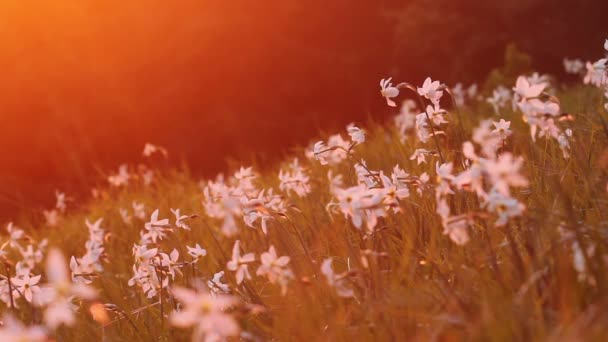 Kvetoucí Narcis v horách s nasyceným slunce světlo