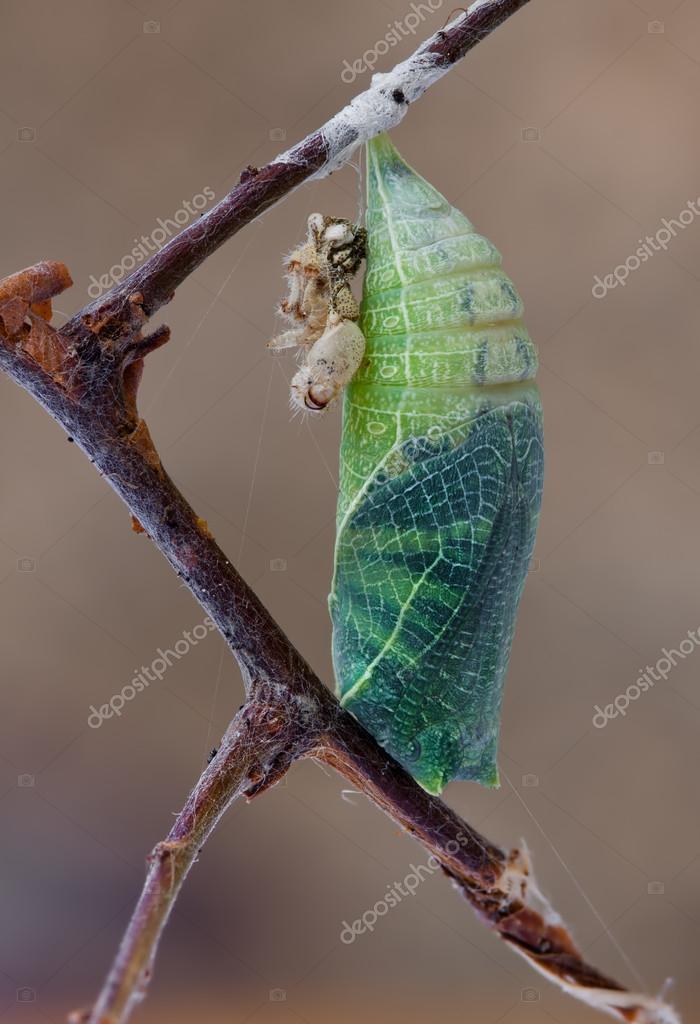 iphiclides podalirius cocon de papillon photographie. Black Bedroom Furniture Sets. Home Design Ideas