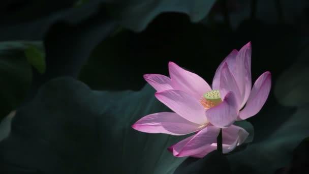 Bee Flying Away Lotus Flower Stock Video Wxin67 114323382