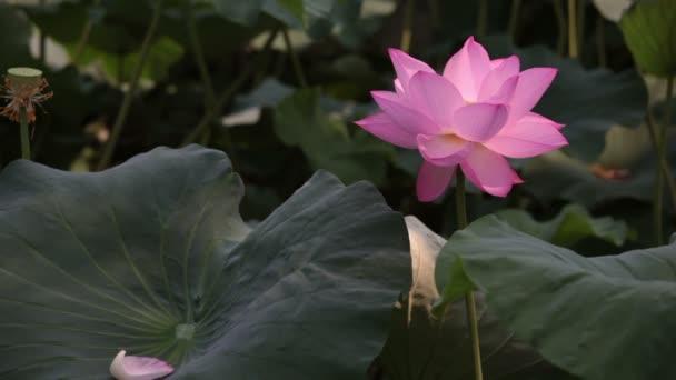 Lotus mává mírný vítr