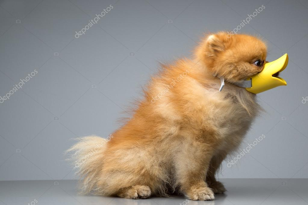 Dog Breed the Spitz dressed duck