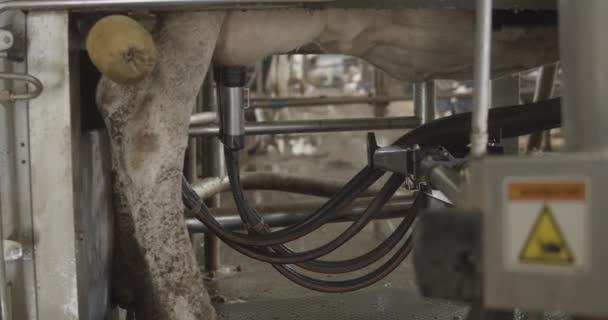 Automated process of a modern milking machine.