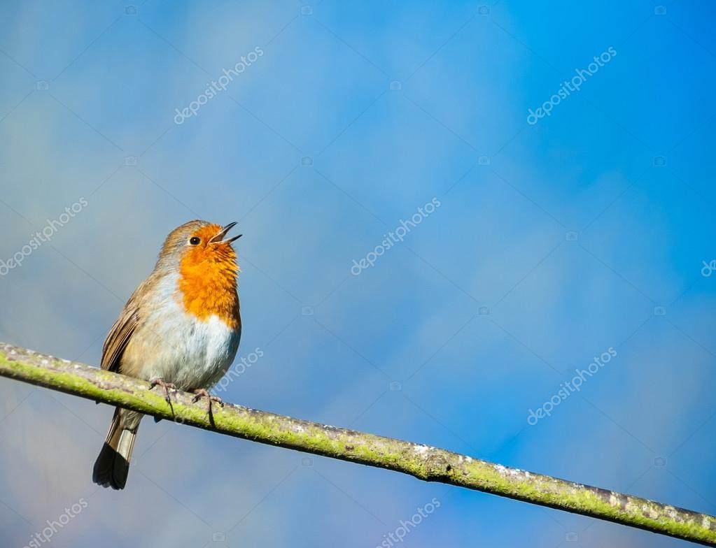 Cute little robin bird singing