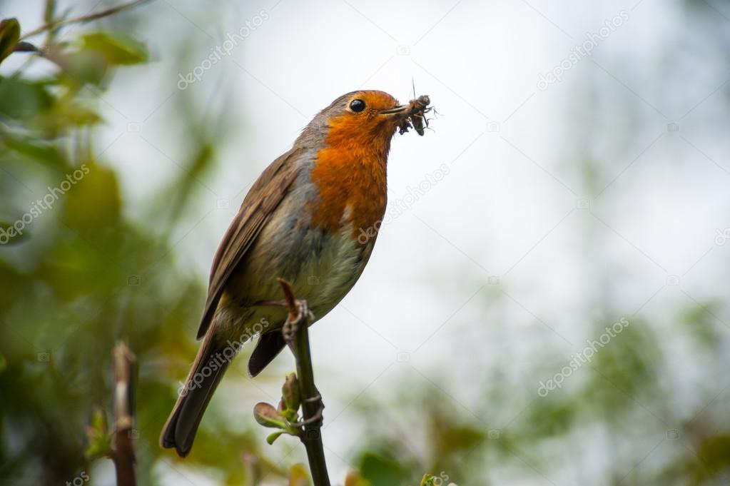 red robin bird eating an insect