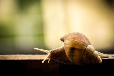 Helix pomatia, common names the Burgundy snail, Roman snail, edi