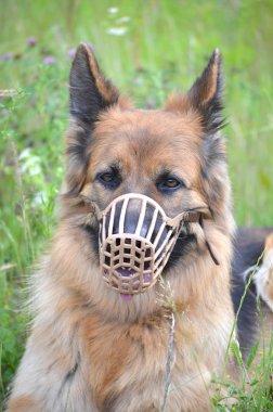 German shepherd muzzled