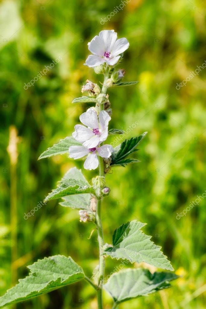 Marshmallow Flower (Althaea)– images de stock libres de droits