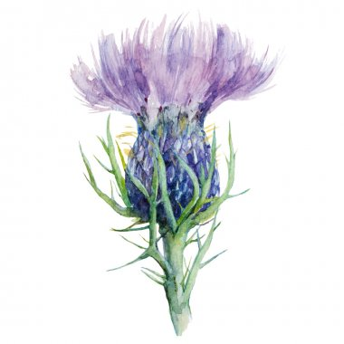 Milk Thistle, Flower Watercolor Painting, Vector Illustration.