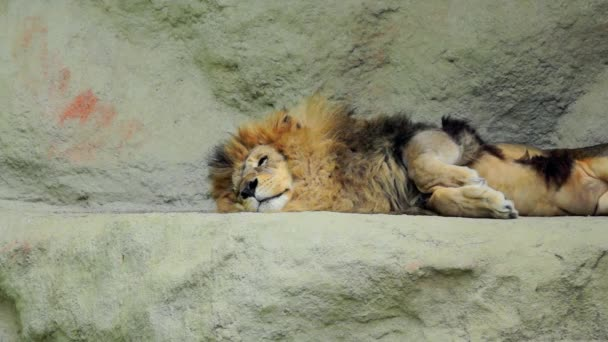 Male lion resting on the rock