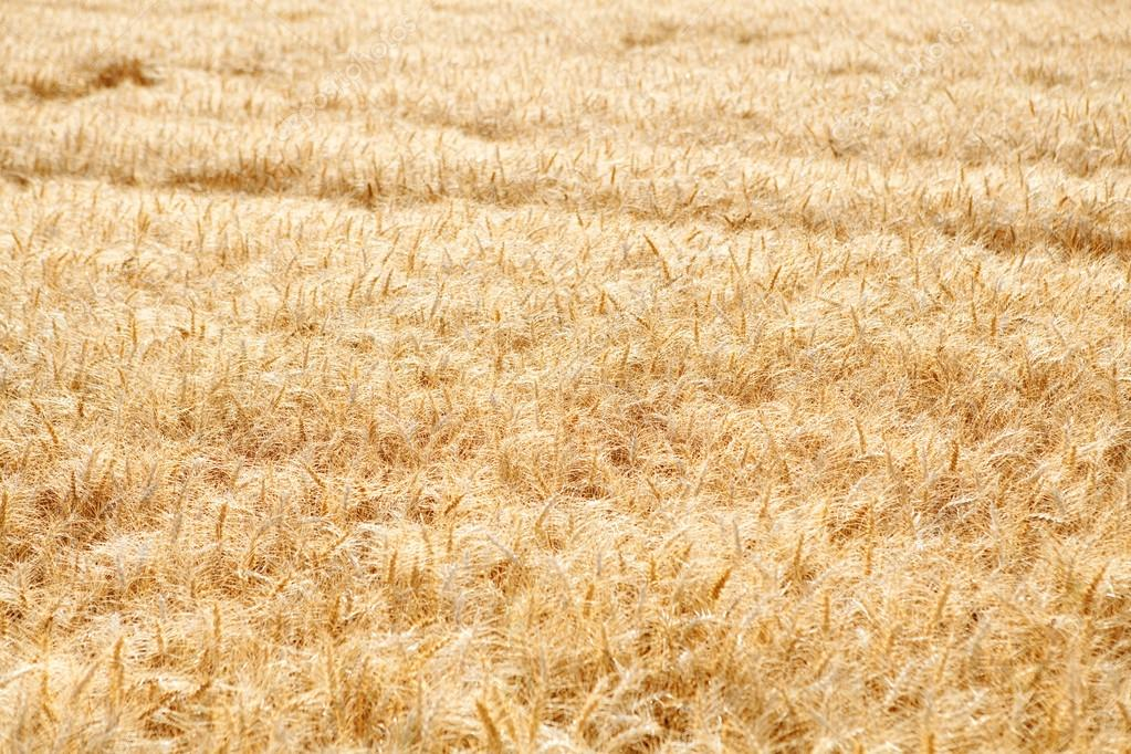 Large field of wheat crops