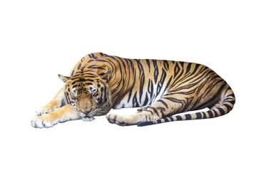 Sleeping tiger on white