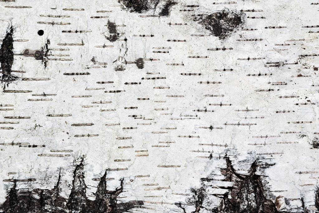 White birch bark background texture