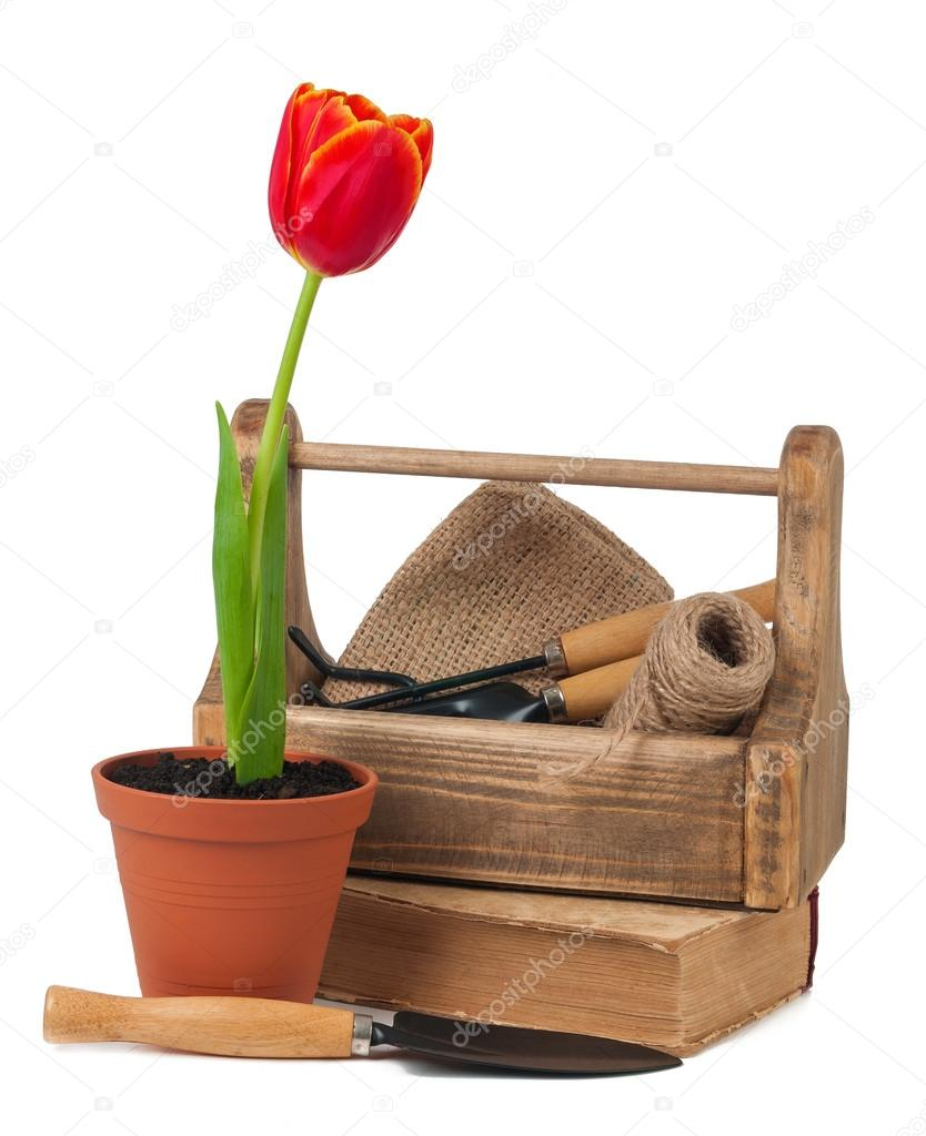 Tulips in pots and garden tools isolated
