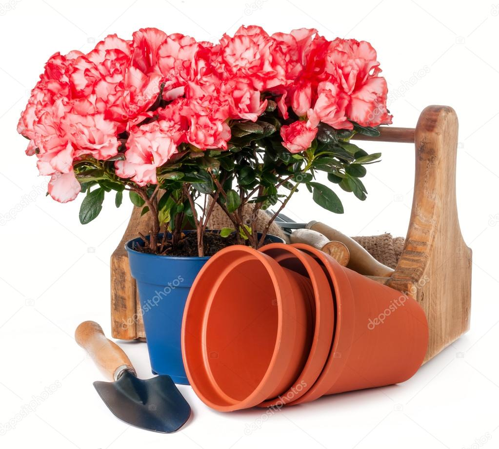 azalea in pot and garden tools isolated