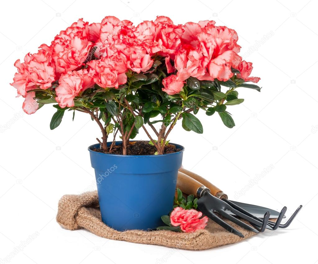 azalea in pot and garden tools on sackcloth isolated