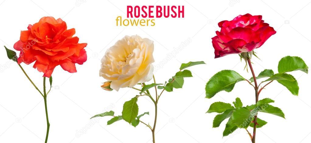 mix Shrub Roses isolated