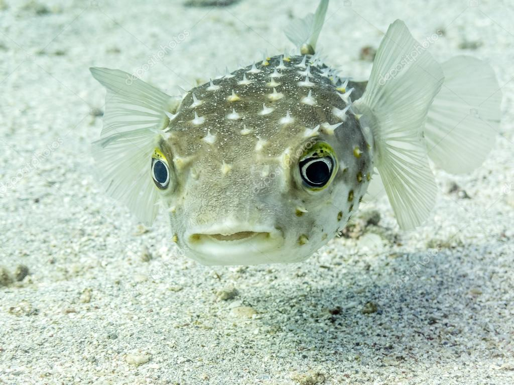 Perplexed Porcupine Fish