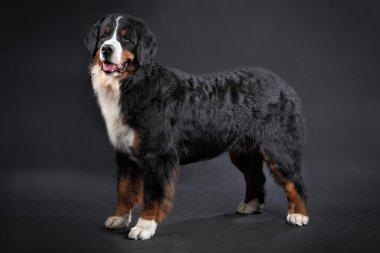 Big shaggy black domestic animal, Bernese Mountain Dog Studio sh