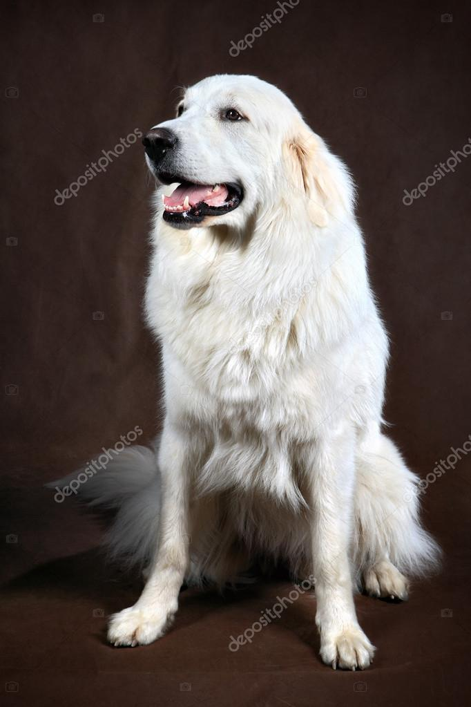 Adult White Cream Golden Retriever Studio Stock Photo C Grigvovan