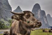 Detail portrétu načervenalé krávy pasoucí se v pastviny, Li-ťiang
