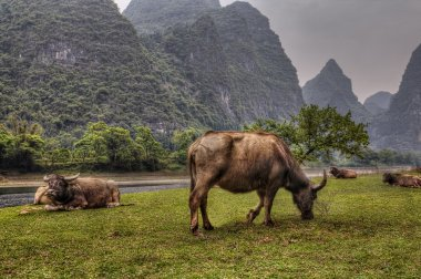 Pasture meadows in rural China, red cows graze in Guangxi.