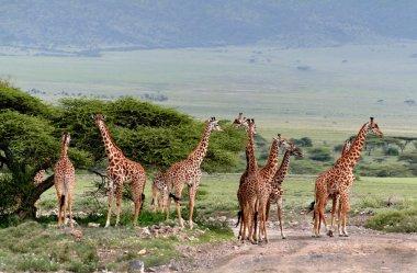 Herd wild herbivorous cloven-hoofed animals, giraffes African  savannah.