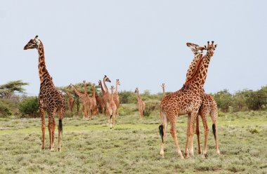 Many giraffes grazing in the African bush, Serengeti Reserve, Tansania.