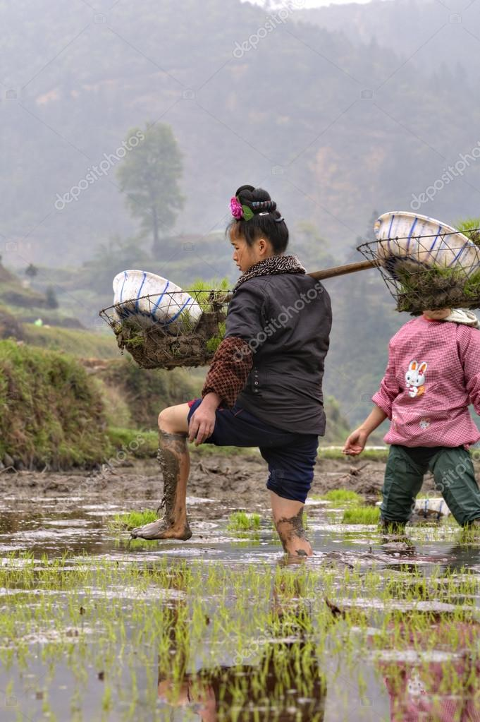 Chinese peasant woman walks barefoot through mud of rice fields.