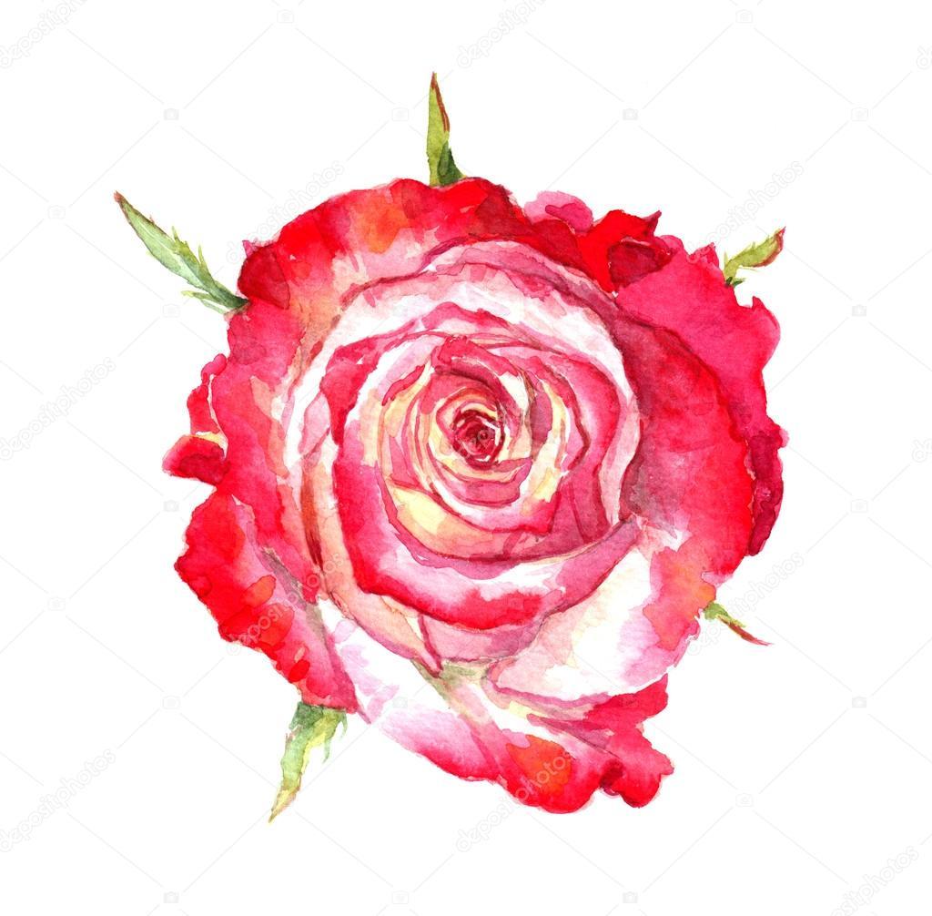 Rose rouge aquarelle photographie zzzorikk 115129134 - Dessin de rose rouge ...
