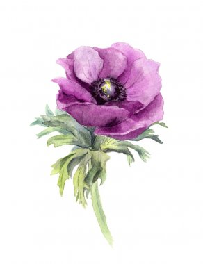 Anemone flower. Watercolor botanical illustration