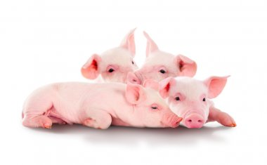 Pile of fun, pink pigs. Isolated on white background.