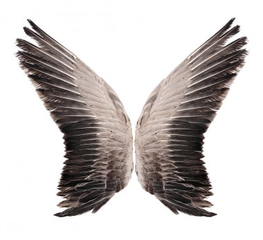 Wild goose wing. Isolated on white background.