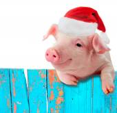 Fotografie Funny pig in a cap of Santa Claus hanging on the fence. Studio photo. Isolated on white background. Collage for congratulations farmers.